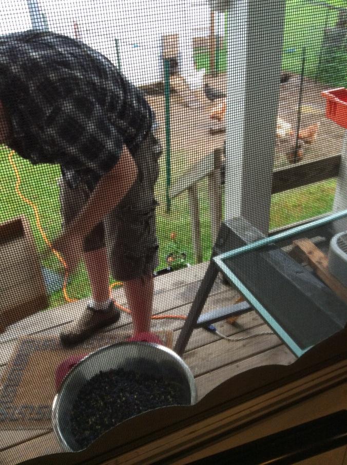 Mr. Gillis taking care of blueberries in the rain.