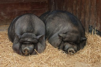1200px-pot-bellied_pigs_in_lisbon_zoo_2008