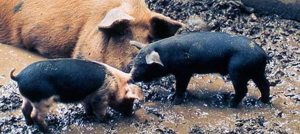 pigs-mom-piglets_1