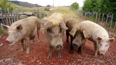 sn-pigs